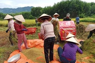 Cả nhà đi cách ly, hàng xóm bảo nhau giúp gặt lúa, phơi thóc