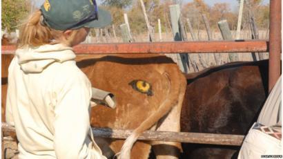 Sự thật về cặp 'mắt thần' giúp bò chiến thắng kẻ săn mồi hung dữ