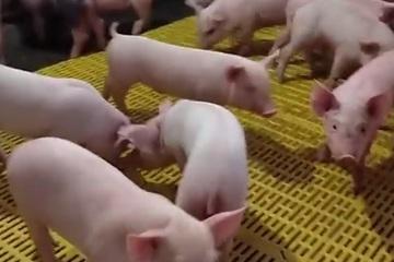 Giá lợn hơi giảm nhẹ, giá thịt lợn vẫn neo cao