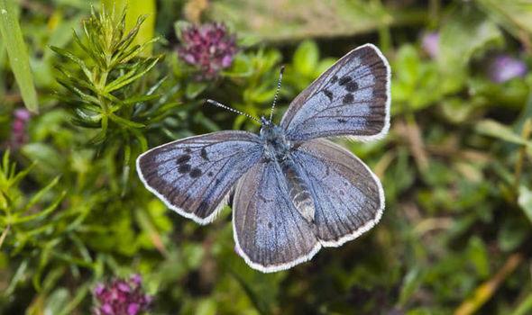 Bướm xanh xuất hiện ở Anh sau 150 năm