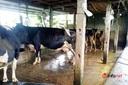 Nghệ An: Cả xóm kêu trời vì 3 hộ chăn nuôi bò sữa ngay khu dân cư