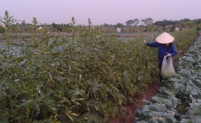 Hà Nội: Mô hình trồng rau an toàn ở xã Yên Mỹ, Thanh Trì đạt tiêu chuẩn Vietgap