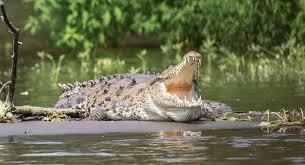Kinh hoàng cá sấu xuất hiện trong khu dân cư ở Ấn Độ sau mưa bão