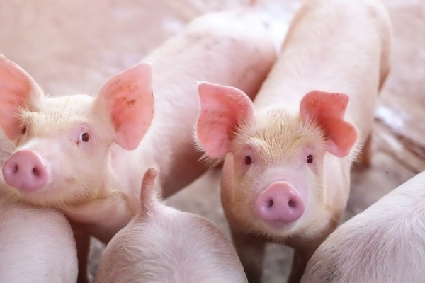 Giá lợn hơi hôm nay miền Bắc bao nhiêu