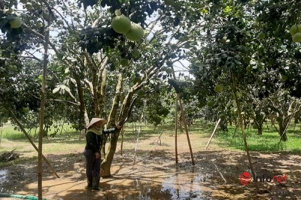 Huế: Trồng cây Thanh Trà chuẩn VietGAP, nông dân thu nhập 300 triệu/ha