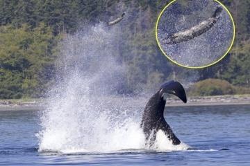 Khoảnh khắc ngoạn mục: Cá voi sát thủ quăng hải cẩu lên cao 15 mét