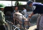 Giá lợn hơi lao dốc mạnh, người chăn nuôi vừa tái đàn đã thua lỗ nặng