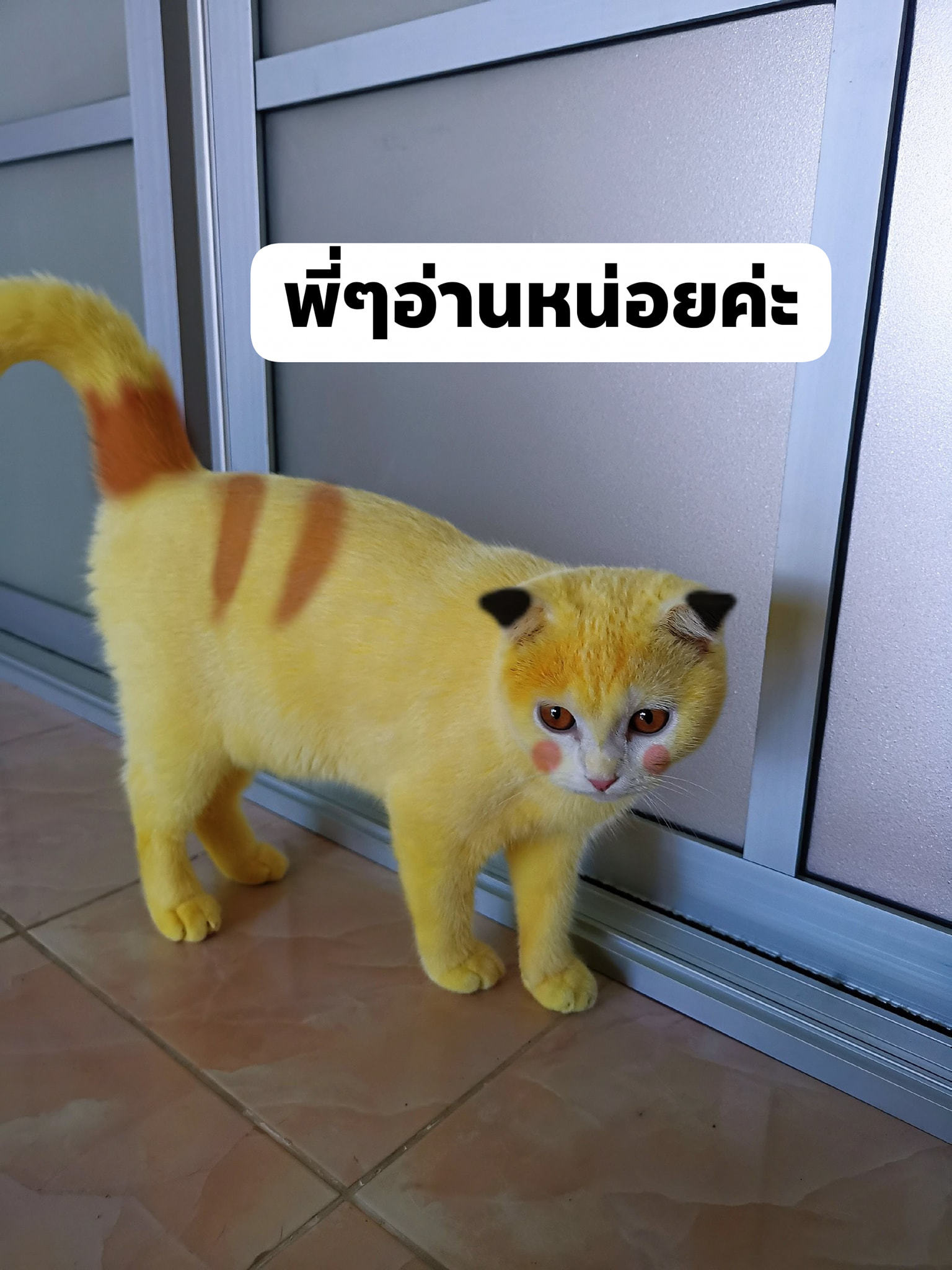 Sự thật về việc nhuộm lông mèo bằng nghệ ở Thái Lan