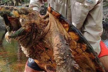 Rùa mình đầy gai nhọn tựa khủng long thời tiền sử được phát hiện ở Mỹ