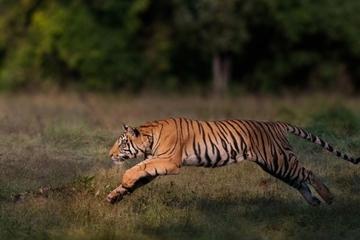 Hổ 'khôn lỏi' tiếp cận ăn trộm đồ của người đi câu ở Nga