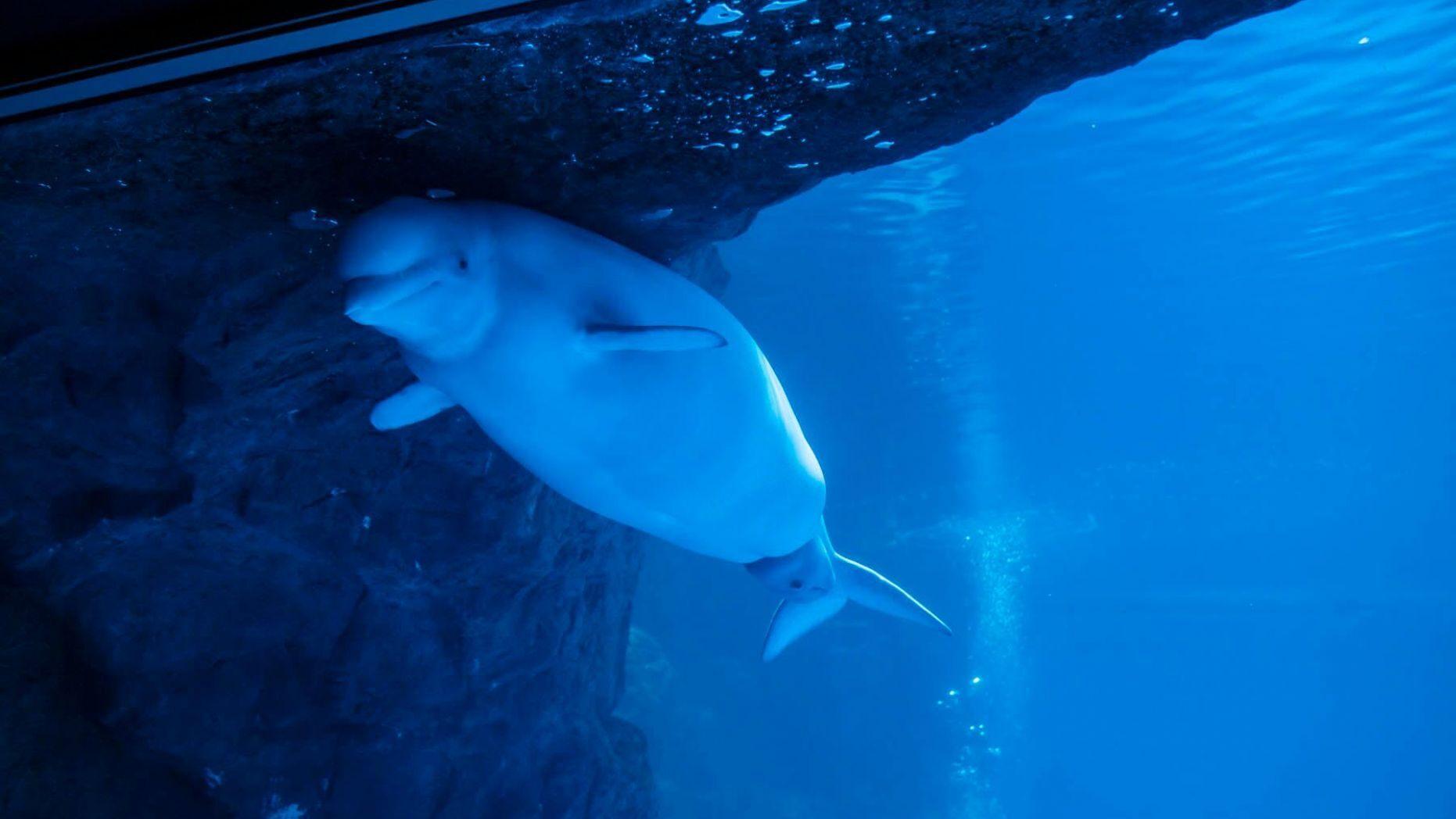 Video cận cảnh quá trình cá voi trắng sinh con trong thủy cung gây bão