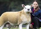 Cận cảnh chú cừu đắt nhất thế giới có giá 11,3 tỷ đồng