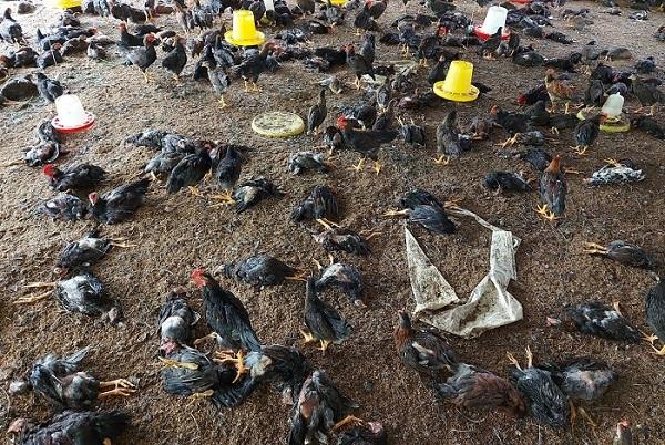 TP Buôn Ma Thuột công bố dịch cúm gia cầm, tiêu hủy hơn 6000 con