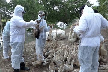 Đồng Tháp: Huyện Hồng Ngự tổ chức tiêm ngừa vắc xin cho gia cầm phòng cúm gia cầm