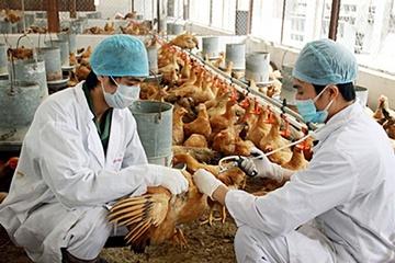 Hà Nội: Tập trung tiêm phòng vắc xin cho đàn gia súc, gia cầm phòng chống dịch bệnh