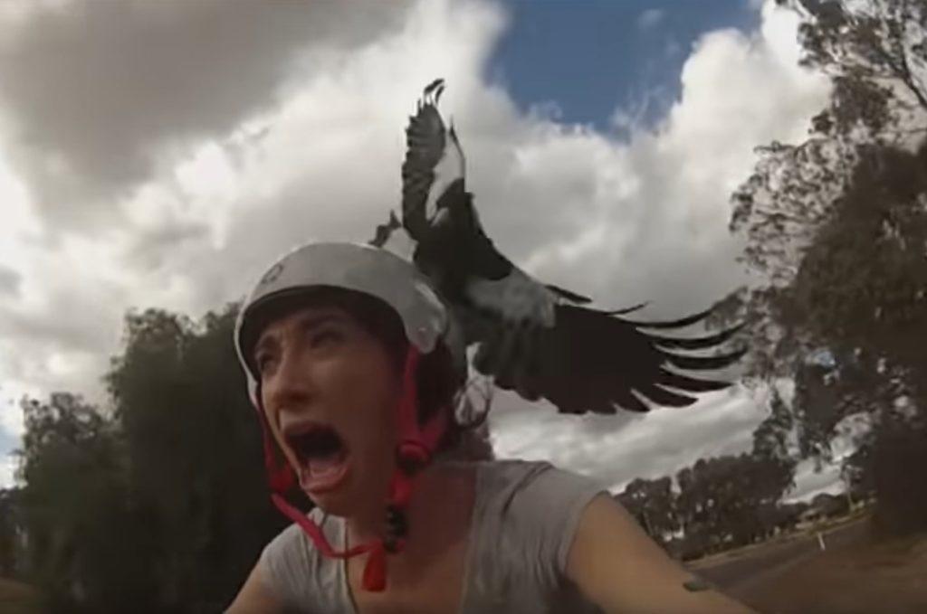 Sự thật về 'cơn ác mộng' từ những trận đột kích của chim ác là