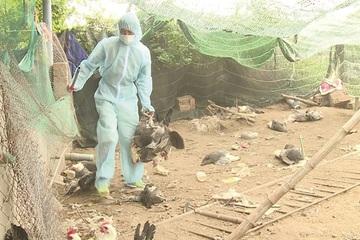 Trà Vinh: Triển khai kế hoạch dập dịch cúm gia cầm tại huyện Cầu Kè