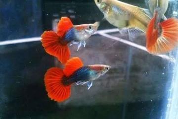 Khởi nghiệp từ cá cảnh trở thành triệu phú cá bảy màu