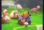 Huấn luyện cá cảnh thành cầu thủ đá bóng ở Trung Quốc