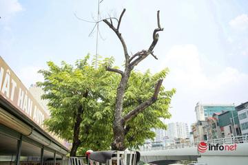 Gắn túi truyền dịch cứu hàng cây sưa đỏ trụi lá ở Cầu Giấy