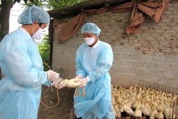 Hà Nội khống chế nhiều dịch bệnh trên đàn gia súc, gia cầm