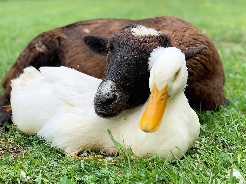 Tình bạn chưa từng có giữa dê già và vịt con trong khu bảo tồn Mỹ