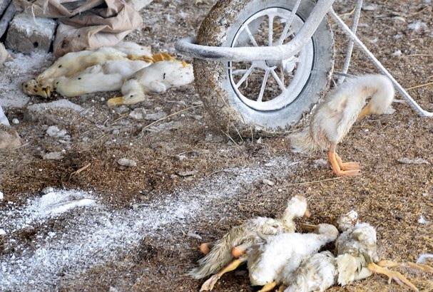 Nghệ An: Xuất hiện ổ dịch cúm gia cầm A/H5N6 tại trại vịt hơn 4000 con