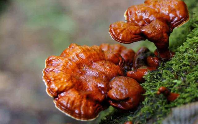 Những loại nấm đắt đỏ được 'săn lùng' ở Việt Nam
