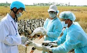 Cà Mau đẩy mạnh tiêm phòng cho đàn gia cầm để ngăn chặn dịch bệnh