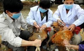 Vĩnh Long tăng cường kiểm soát bệnh cúm gia cầm lây lan