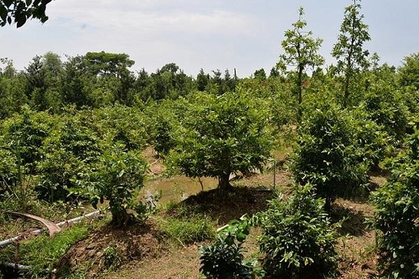 Cận cảnh vườn nghìn cây, hàng chục cây giá tiền tỷ của 'Vua mai vàng' miền Tây