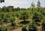 """Cận cảnh vườn nghìn cây, hàng chục cây giá tiền tỷ của """"Vua mai vàng"""" miền Tây"""