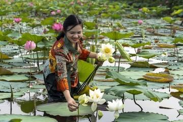 Cô gái say mê trồng sen trắng cổ, chế tranh lá sen độc đáo xứ Huế