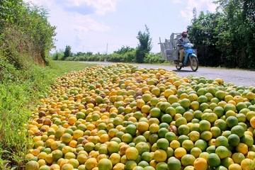 Hàng chục tấn cam Vinh rụng đầy gốc, nông dân thất thu hàng trăm triệu đồng