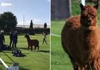 'Fan cuồng' lạc đà không mời tới phá đám trận đấu bóng đá