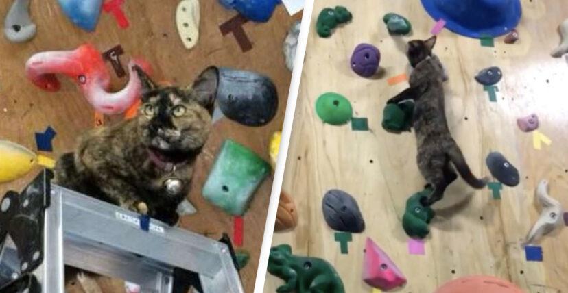 Mèo thông minh chinh phục bức tường leo núi cao chót vót