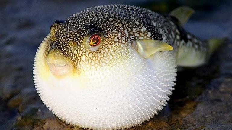Từ năm 2021, Đà Nẵng sẽ xuất khẩu cá nóc?