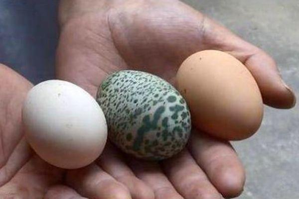 Gà đẻ trứng xanh kỳ lạ ở Trung Quốc