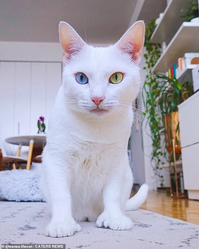 Mèo hai màu mắt, chân nhiều ngón dị thường nổi tiếng khắp 'cõi mạng'