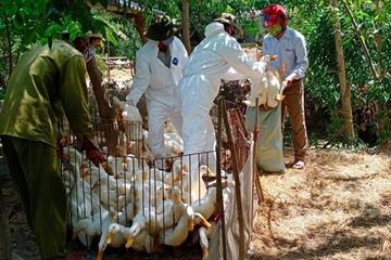 Gần 2.000 con vịt mắc cúm gia cầm H5N6, Quảng Trị khống chế để dịch không lây lan diện rộng