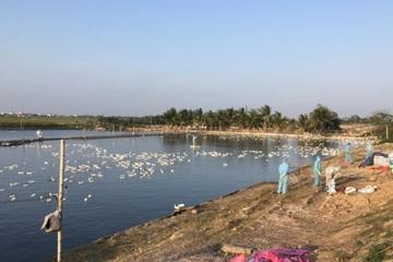 Bùng phát dịch cúm gia cầm, Hải Phòng triển khai khoanh vùng nhanh chóng dập dịch