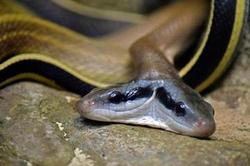 Hốt hoảng phát hiện rắn hai đầu nằm chình ình trong nhà