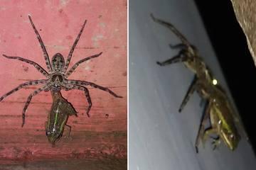 Cuộc săn mồi lạ kỳ khi nhện khổng lồ bắt ếch