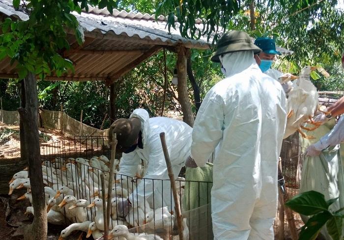 Quảng Trị: Tiêu hủy gần 2.000 con vịt nhiễm dịch cúm gia cầm H5N6 ở Vĩnh Linh
