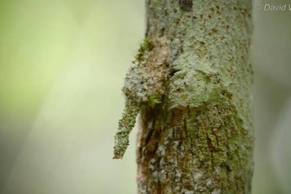 Cao thủ nguỵ trang ấu trùng bướm đêm trong tự nhiên