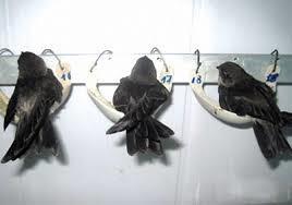 Đồng Nai: Kiểm soát các cơ sở nuôi chim yến phòng chống dịch cúm gia cầm