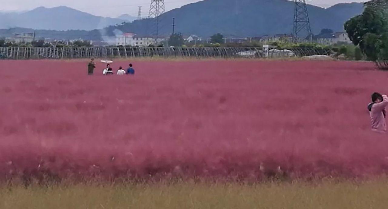 Lạ mắt với cánh đồng cỏ hồng hút khách du lịch