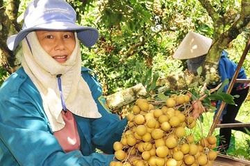Nhãn Thanh Lương được mùa giá cao, thương lái tranh nhau về đặt cọc thu mua