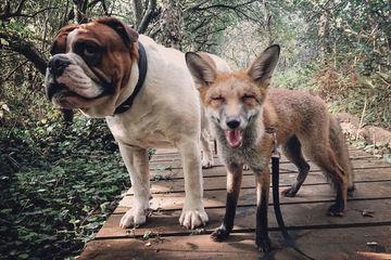 Tình bạn 'có một không hai' giữa chó và cáo nhỏ gây bất ngờ