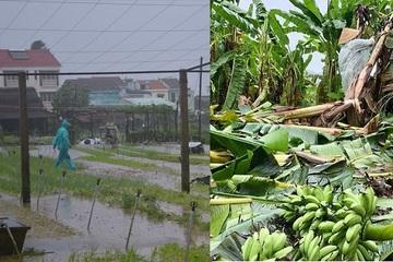 Đặc sản miền Trung: Chuối ngự, rau quế... tiêu tán vì mưa bão, nông dân thất thu hàng trăm triệu đồng